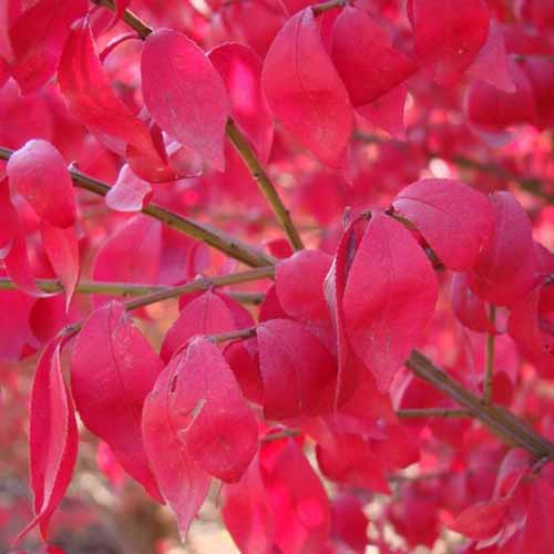 A close up square image of the bright red foliage of Euonymus 'Compacta' pictured on a soft focus background.