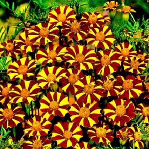A close up square image of bicolored 'Court Jester' marigolds growing in the garden.