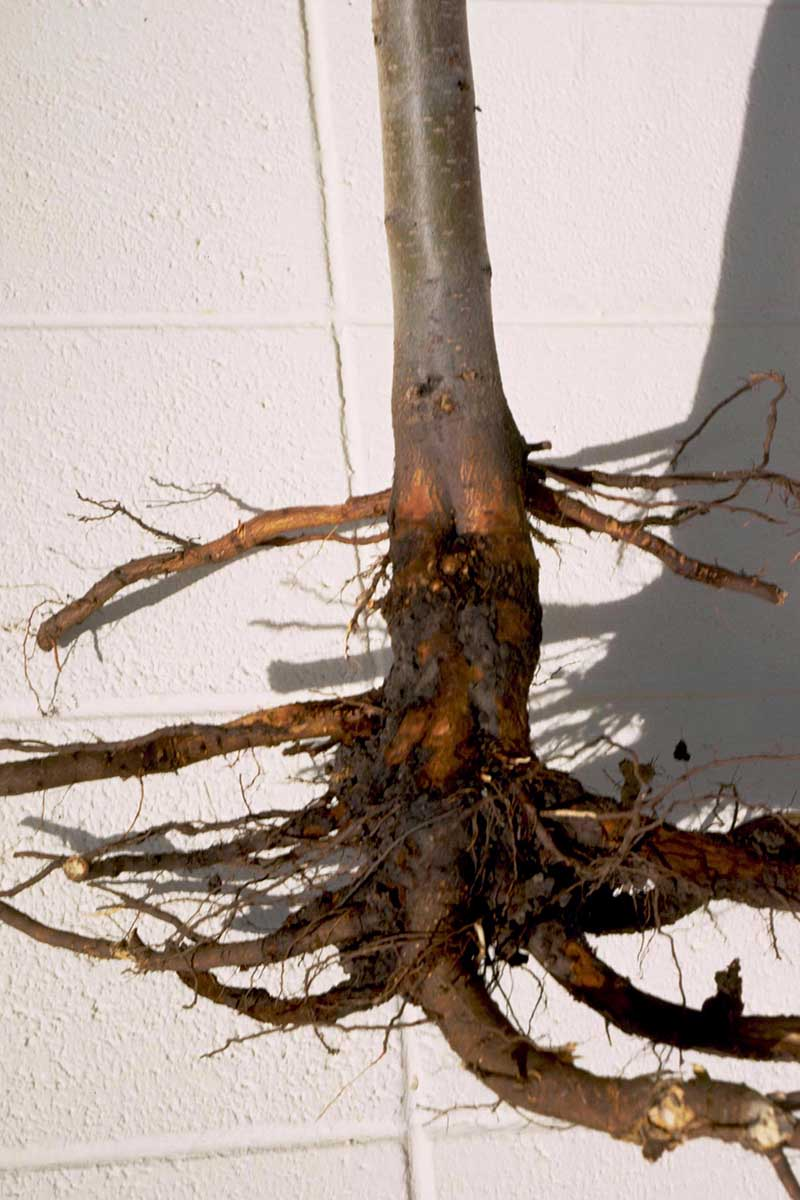 A close up vertical image of a plant dug out of the ground suffering from root and crown rot set on a white surface.