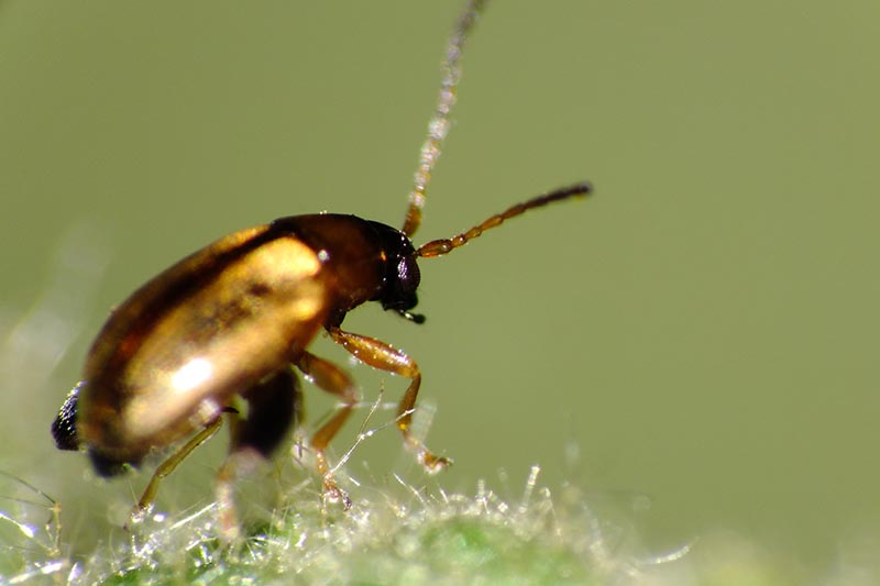 A close up horizontal image of a crucifer flea beetle on a leaf in high magnification pictured on a soft focus background.