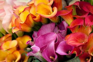 21 of the Best Calla Lilies for Sensational Summer Blooms