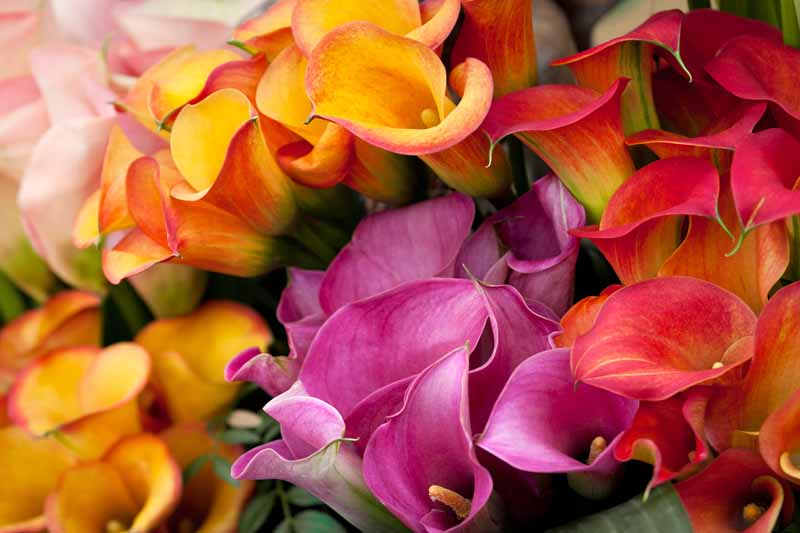 A close up horizontal image of pink, orange, and red brightly colored calla lilies.