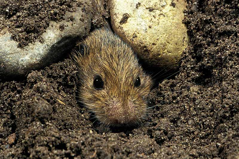 A close up horizontal image of a small vole emerging from a hole in the soil.