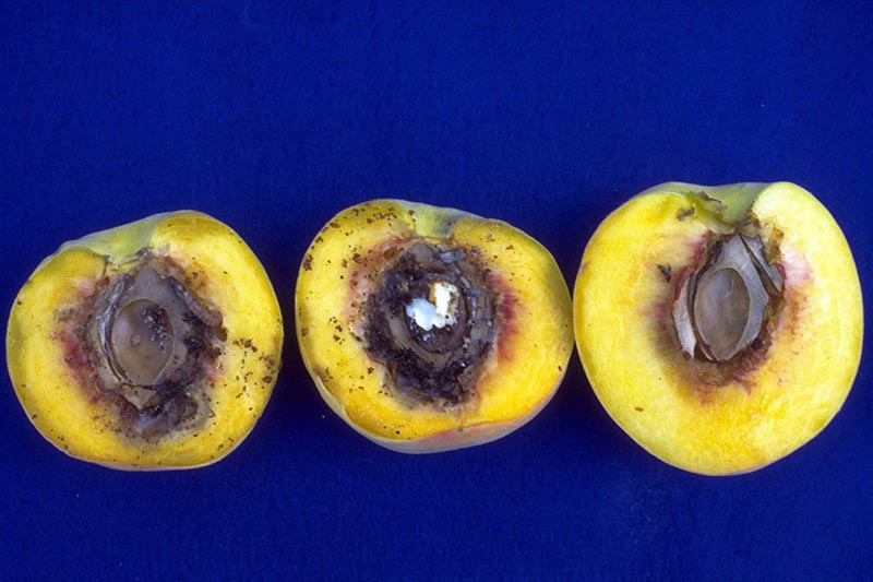 A close up horizontal image of peaches cut in half to show damage from peach twig borers.
