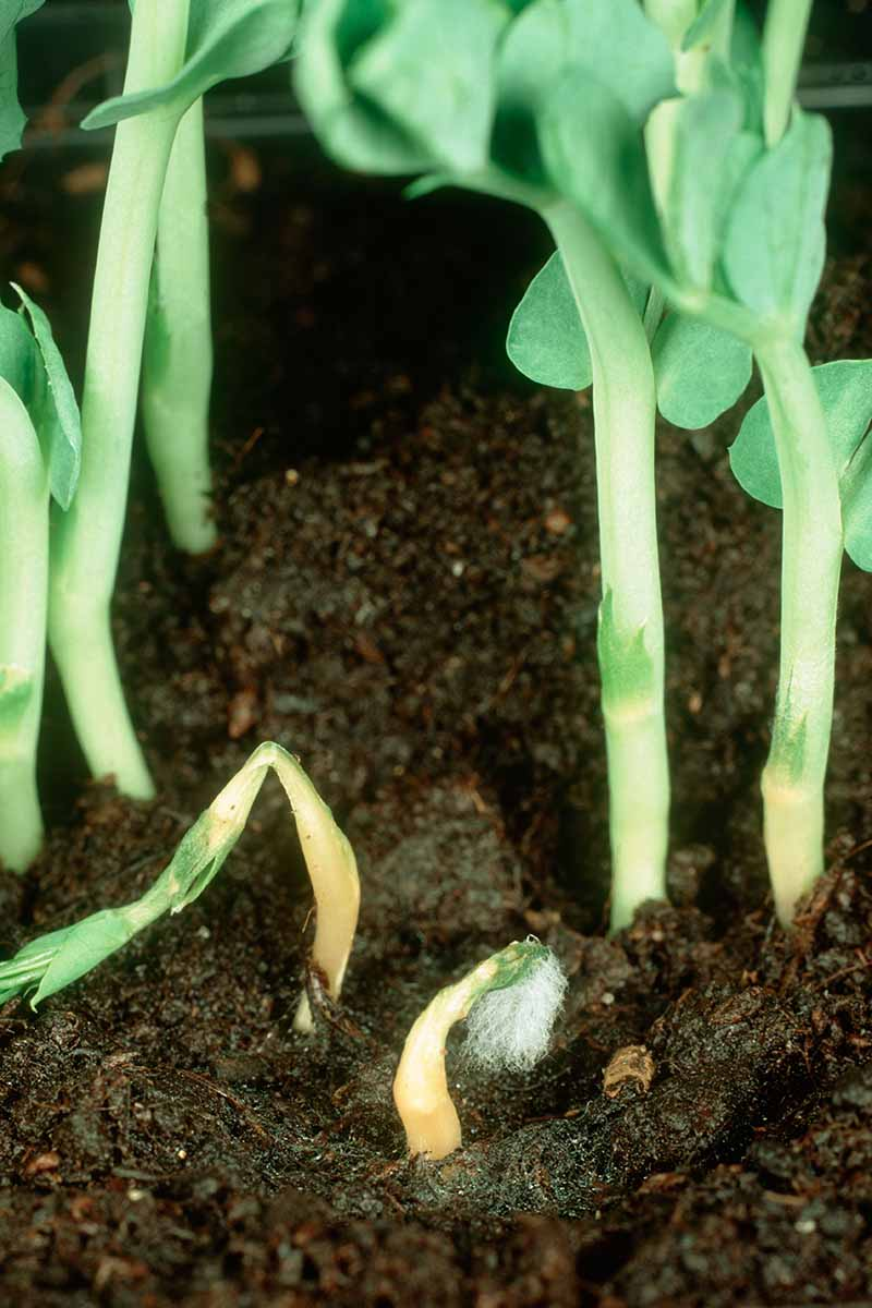 A close up vertical image of seedlings suffering from damping off and dying.