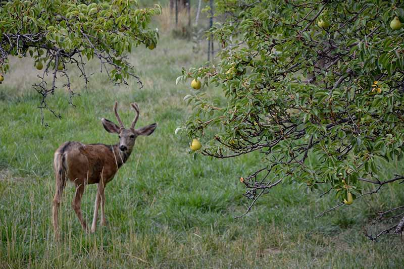 A close up horizontal image of a young deer in a home orchard.