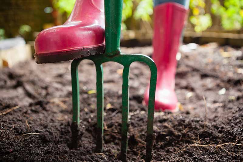 A close up horizontal image of a gardener wearing pink gumboots using a garden fork to dig a raised bed.