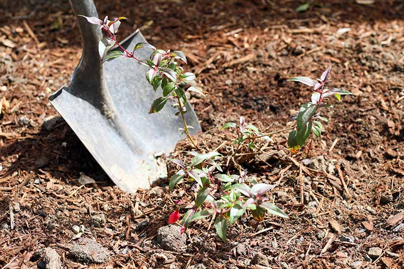 A close up horizontal image of a spade being used to dig up a small fuchsia plant to move it to another spot.