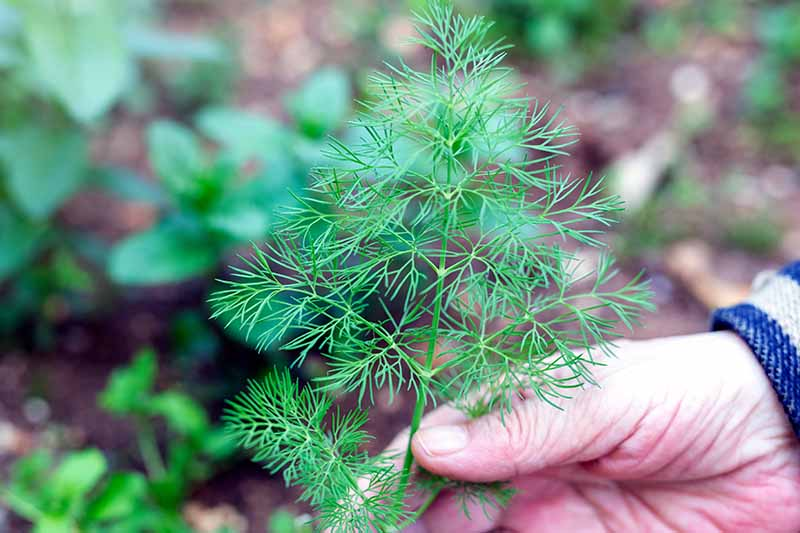 A close up horizontal image of a hand from the right of the frame holding a dill plant that is growing in the garden pictured on a soft focus background.