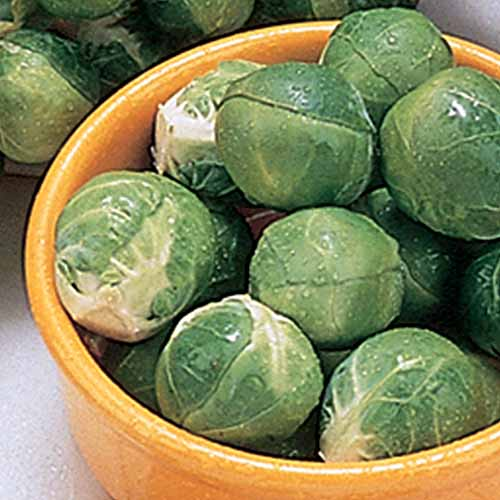 A close up square image of a bowl of freshly harvested 'Dimitri' brussels sprouts.
