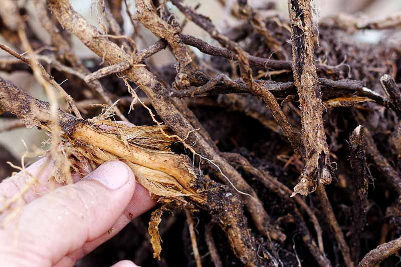 A close up horizontal image of a hand from the left of the frame examining the roots of a potted plant that are suffering from a fungal disease.