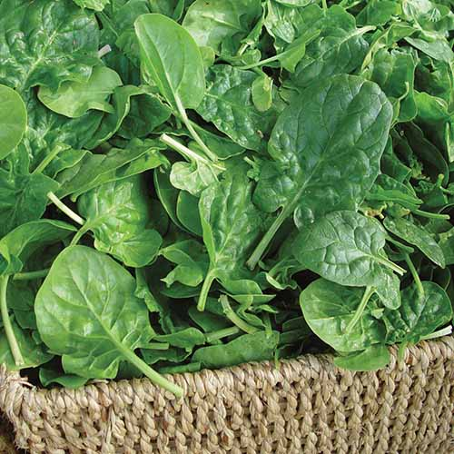 A close up square image of a wicker basket filled with freshly harvested 'Double Choice' spinach leaves.