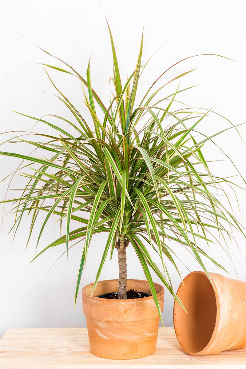 A close up vertical image of a small Dracaena marginata tricolor plant growing in a small terra cotta pot set on a wooden surface.