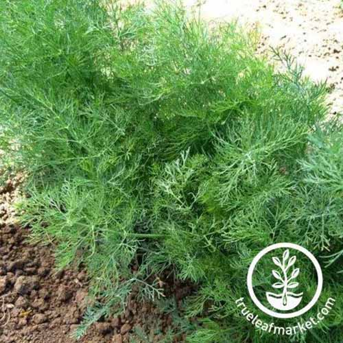 A close up square image of 'Dukat' dill growing in the garden. To the bottom right of the frame is a white circular logo with text.