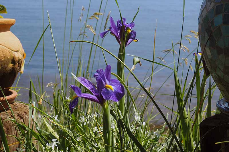 A close up horizontal image of purple Dutch iris growing on a clifftop with the sea in the background.
