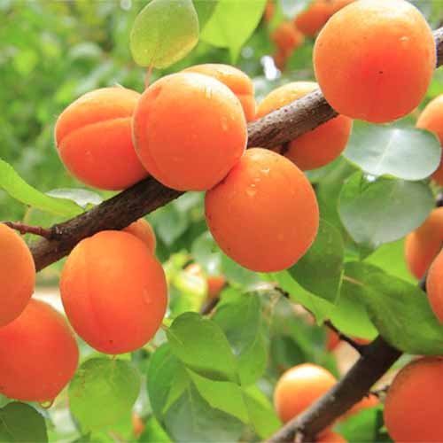 A close up square image of a dwarf 'Blenheim' apricot tree with ripe fruits on the branch.