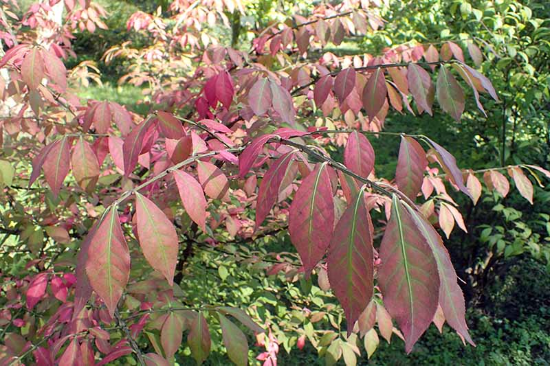 A close up horizontal image of the foliage of the burning bush, Euonymus alatus growing in the garden.