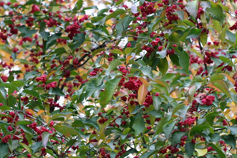 A close up horizontal image of the foliage of Euonymus atropurpureus growing in the garden.