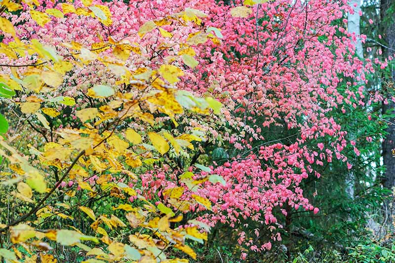 A horizontal image of a warty euonymus shrub turning red in the fall.