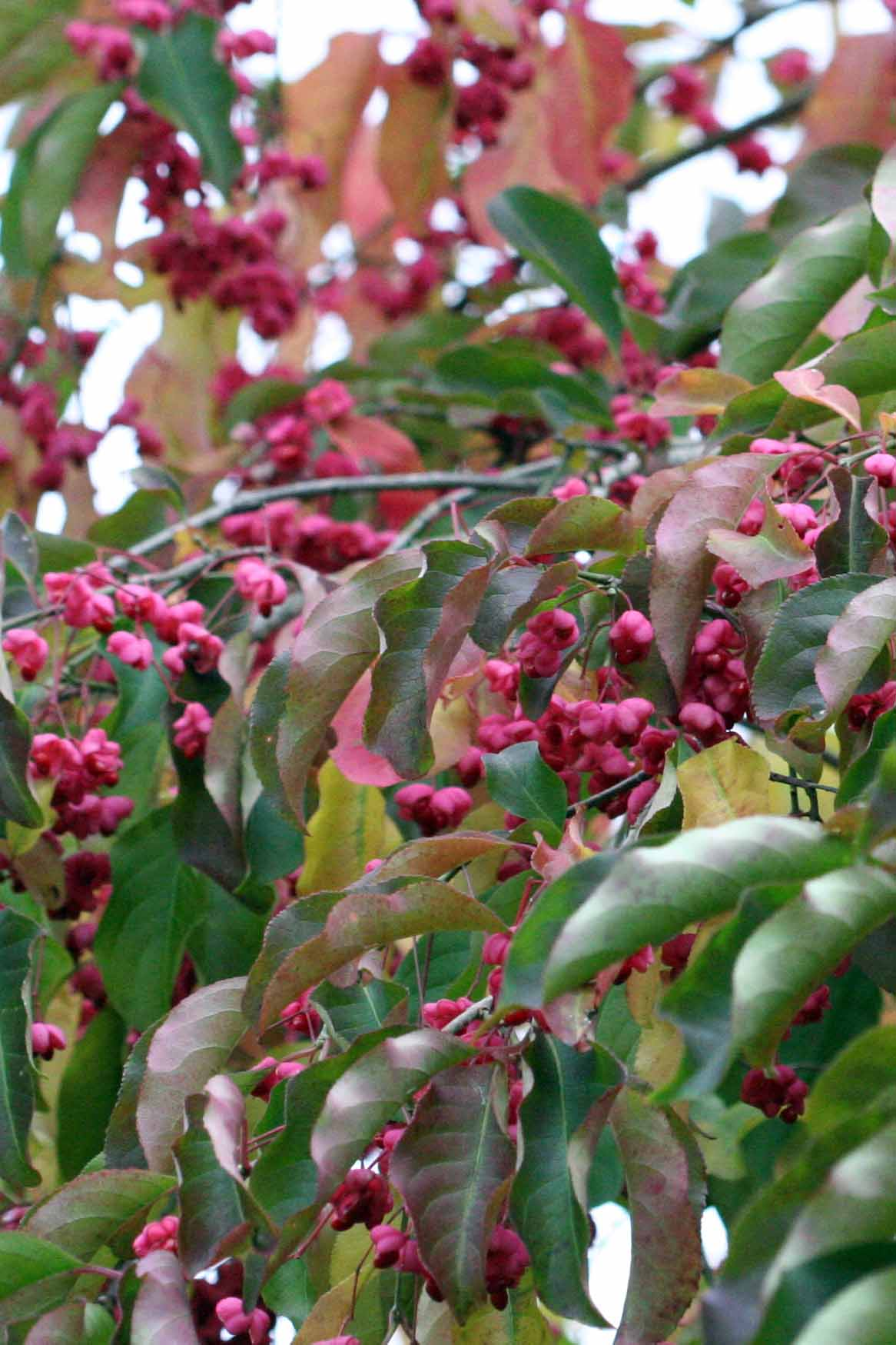 A close up vertical image of Euonymus europaeus with pink berries and greenish-pink leaves in the fall garden.