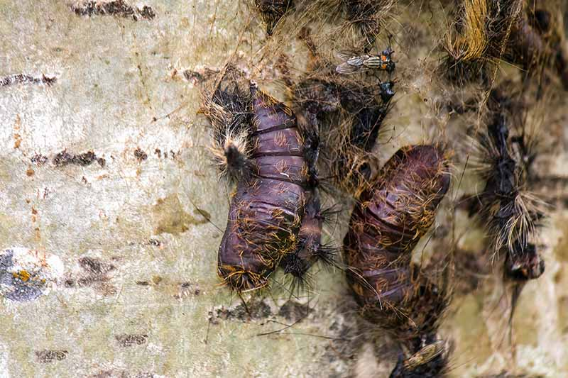 A close up horizontal image of the pupae of gypsy moths on the trunk of a tree.