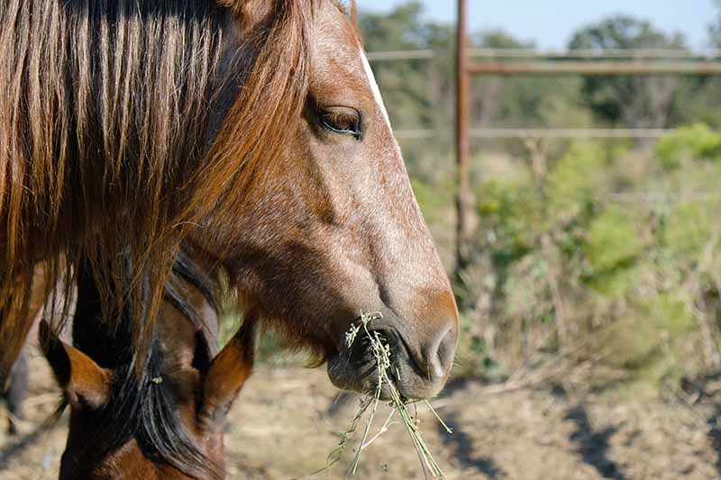 A close up horizontal image of a horse out in a paddock eating lucerne.