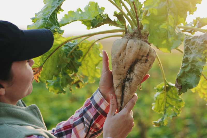 A close up horizontal image of a gardener inspecting a freshly harvested white sugar beet pictured in light evening sunshine.