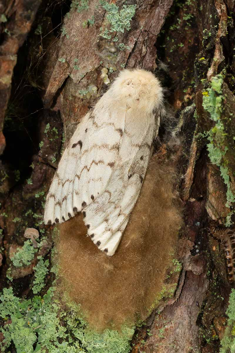 A close up vertical image of a female gypsy moth adult with a mass of freshly laid eggs on a tree.