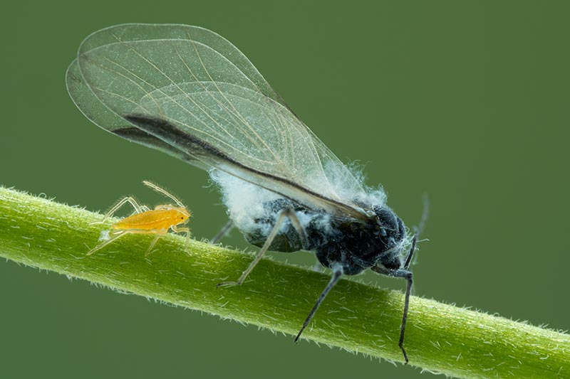 A close up horizontal image of an adult female woolly aphid walking along a branch with a baby nymph following behind. The background is green.