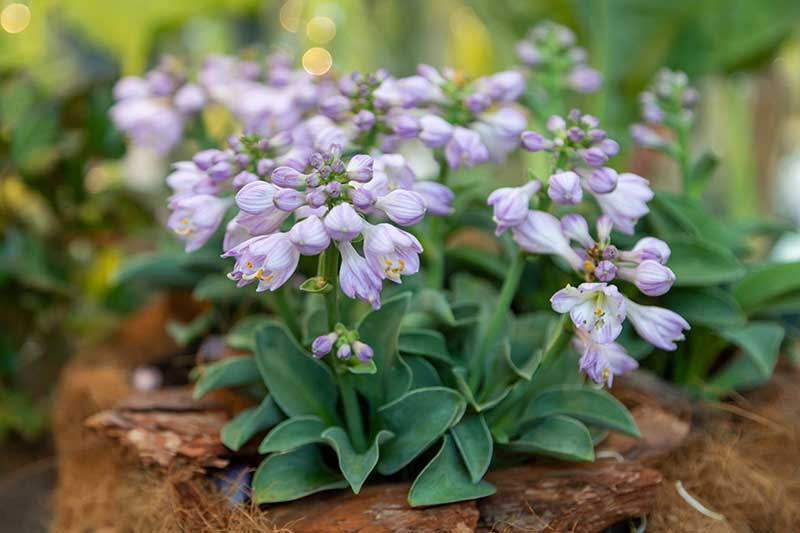 A close up horizontal image of a small mouse eared hosta plant with light purple flowers.