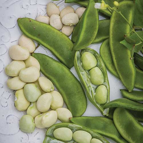 A close up square image of pods and shelled 'Fordhook' lima beans set on a white surface.