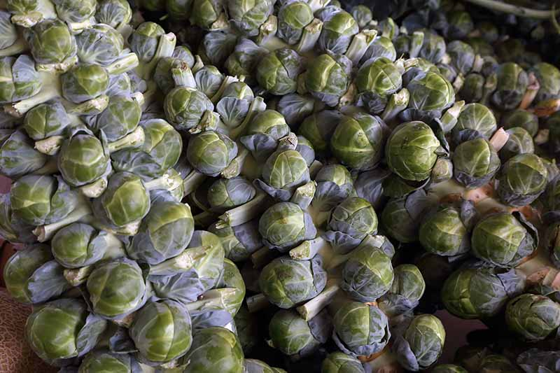 A close up horizontal image of freshly harvested brussels sprout stalks with tight heads.