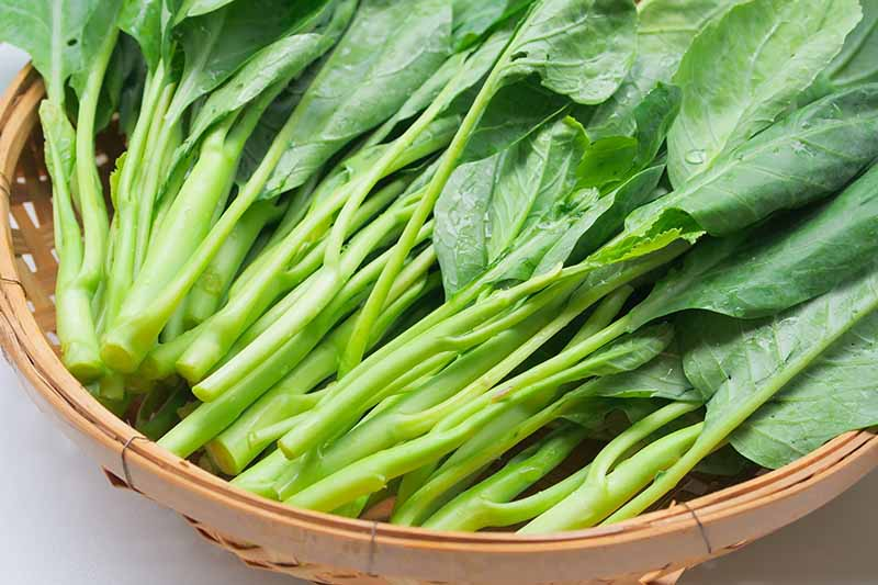 A close up horizontal image of freshly harvested Chinese broccoli in a wicker basket.