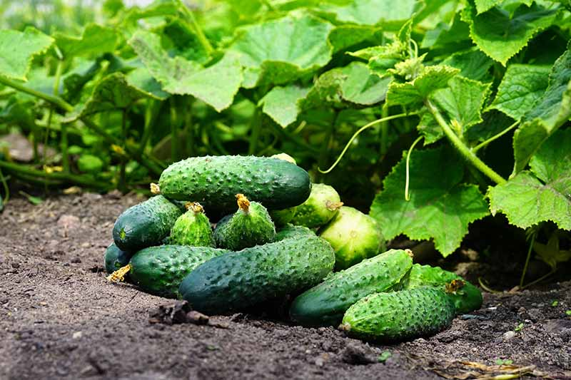 A close up horizontal image of freshly harvested homegrown cucumbers set on the ground beside the vines.