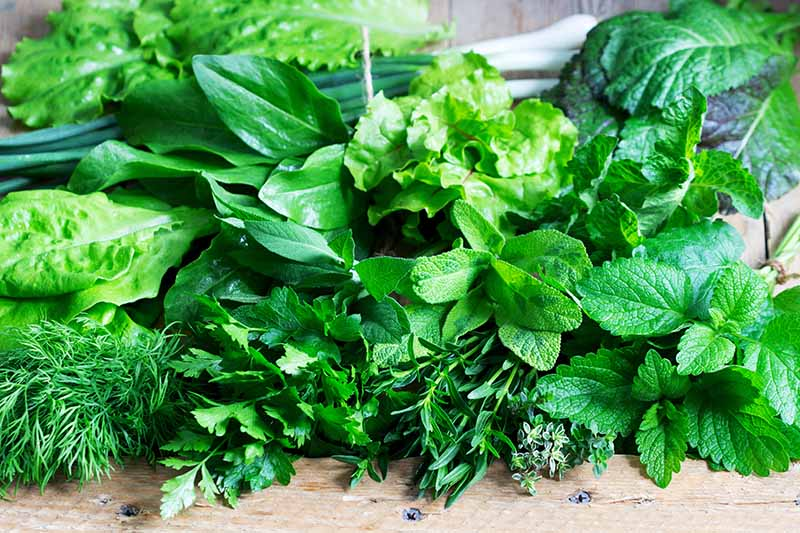 A close up horizontal image of freshly harvested herbs and mustard greens set on a wooden surface.