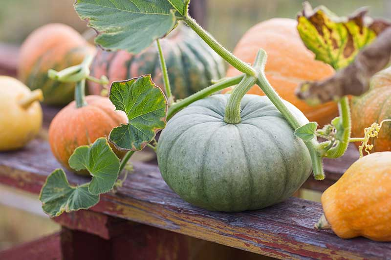 A close up horizontal image of green and orange pumpkins, freshly harvested, set on a wooden surface.