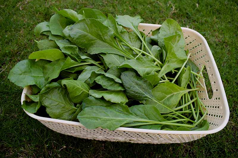 A close up horizontal image of freshly harvested spinach in a white plastic basket.