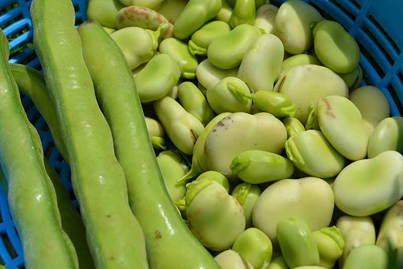 A close up horizontal image of pods and shelled lima beans in a blue plastic colander.
