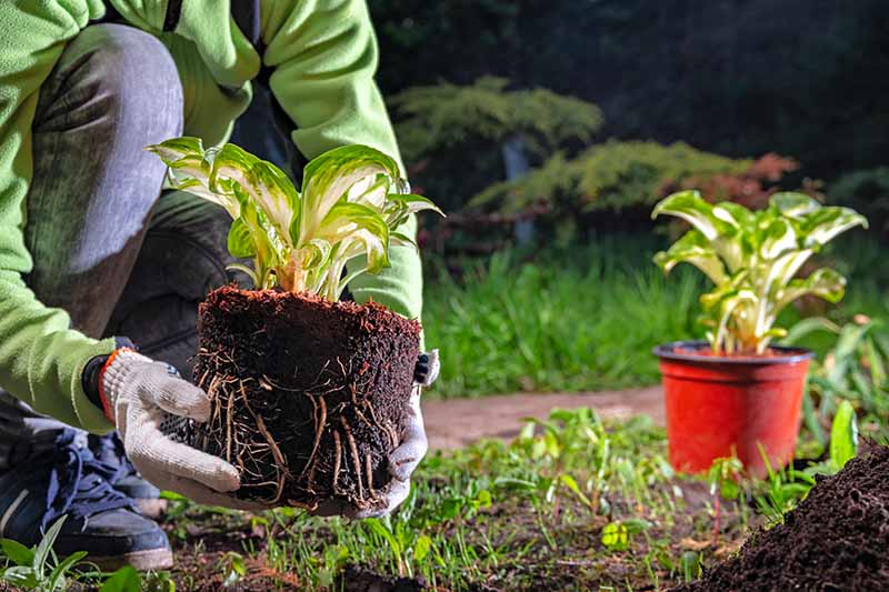 A close up horizontal image of a gardener transplanting hosta plants from pots into the garden.