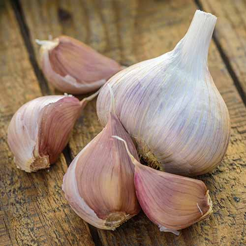 A close up square image of a garlic bulb and cloves set on a wooden surface.