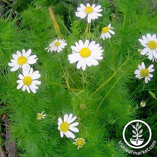 A close up square image of German chamomile with small white flowers growing in the garden. To the bottom right of the frame is a white circular logo with text.