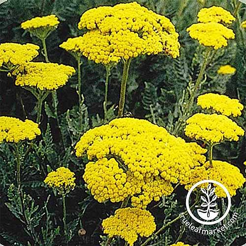 A close up square image of 'Golden' yarrow growing in the garden. To the bottom right of the frame is a white circular logo with text.