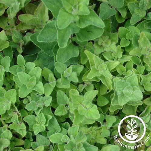 A close up square image of Greek oregano growing in the garden. To the bottom right of the frame is a white circular logo with text.
