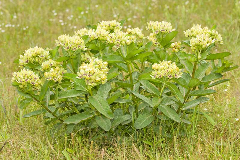 A close up horizontal image of a clump of Asclepias viridis flowers growing in a pasture.