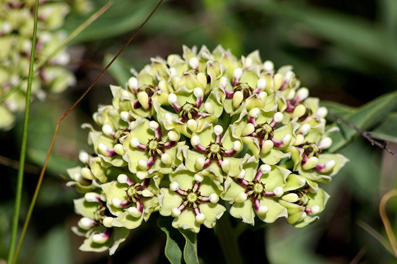 A close up horizontal image of a red and green milkweed flower growing in the garden pictured on a soft focus background.