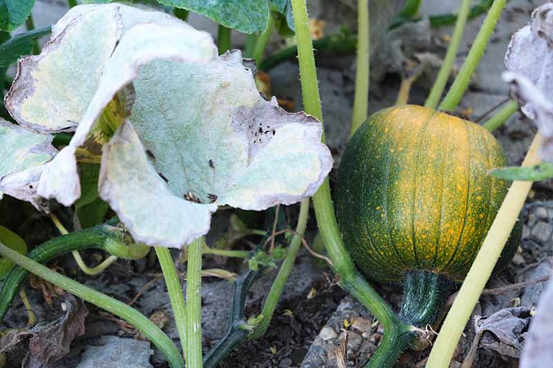 A close up horizontal image of a green pumpkin in the garden, with the plant suffering from fungal disease.