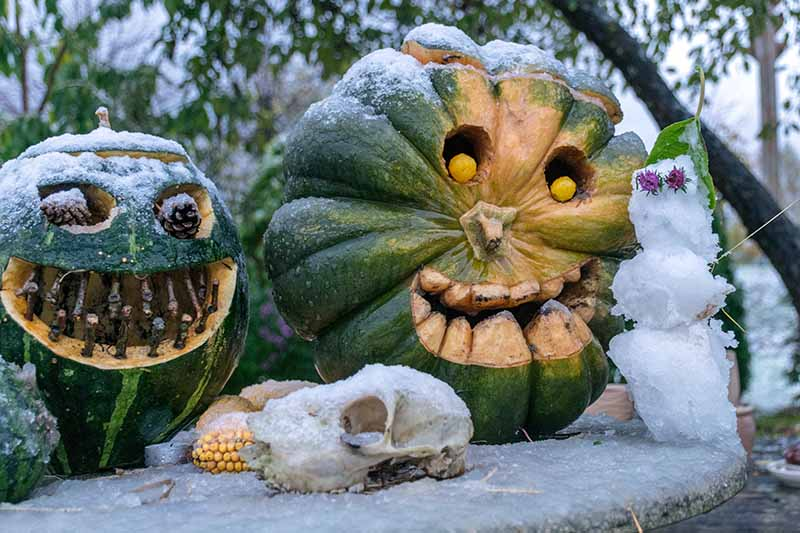 A close up horizontal image of carved decorative pumpkins in the garden surrounded by a light dusting of snow.