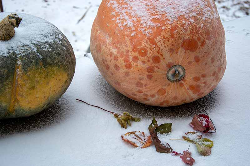 A close up horizontal image of two pumpkins, one orange, one green set on a snowy surface with fallen autumn leaves scattered around.