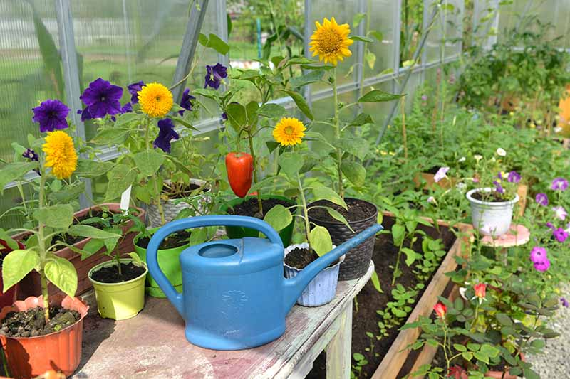 A close up horizontal image of a greenhouse with a variety of different plants growing in containers with a watering can in the foreground.
