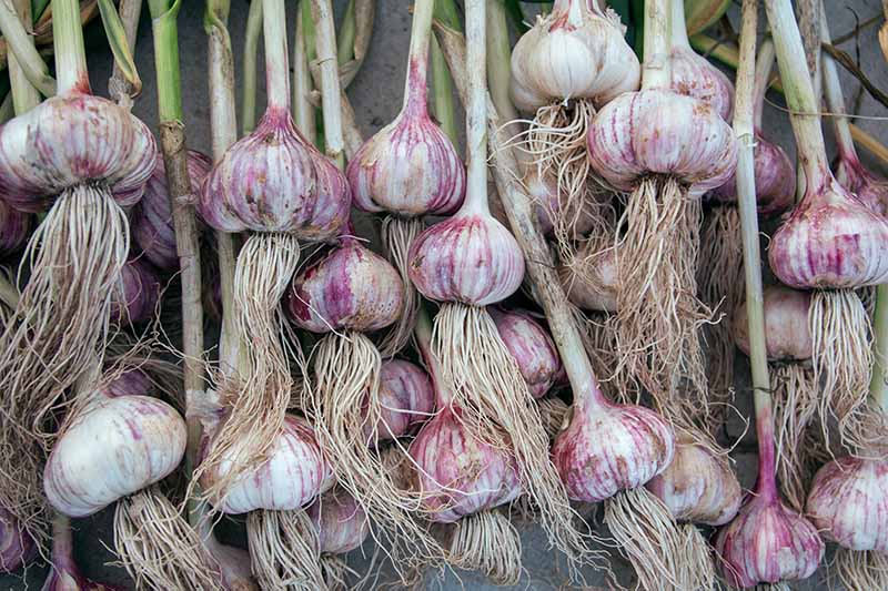 A close up horizontal image of homegrown garlic drying after harvest.